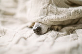 istock Dog nose under the blanket. sick ill flu dog nose in bed. Cozy home recovering 1132975064