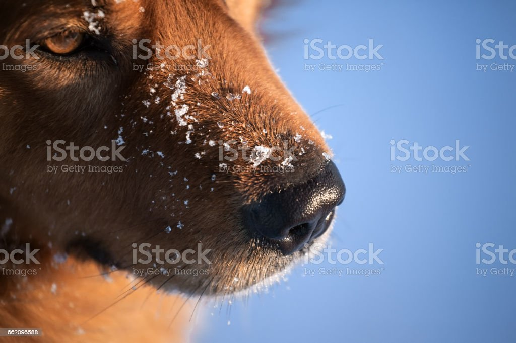 dog nose with snowflakes royalty-free stock photo