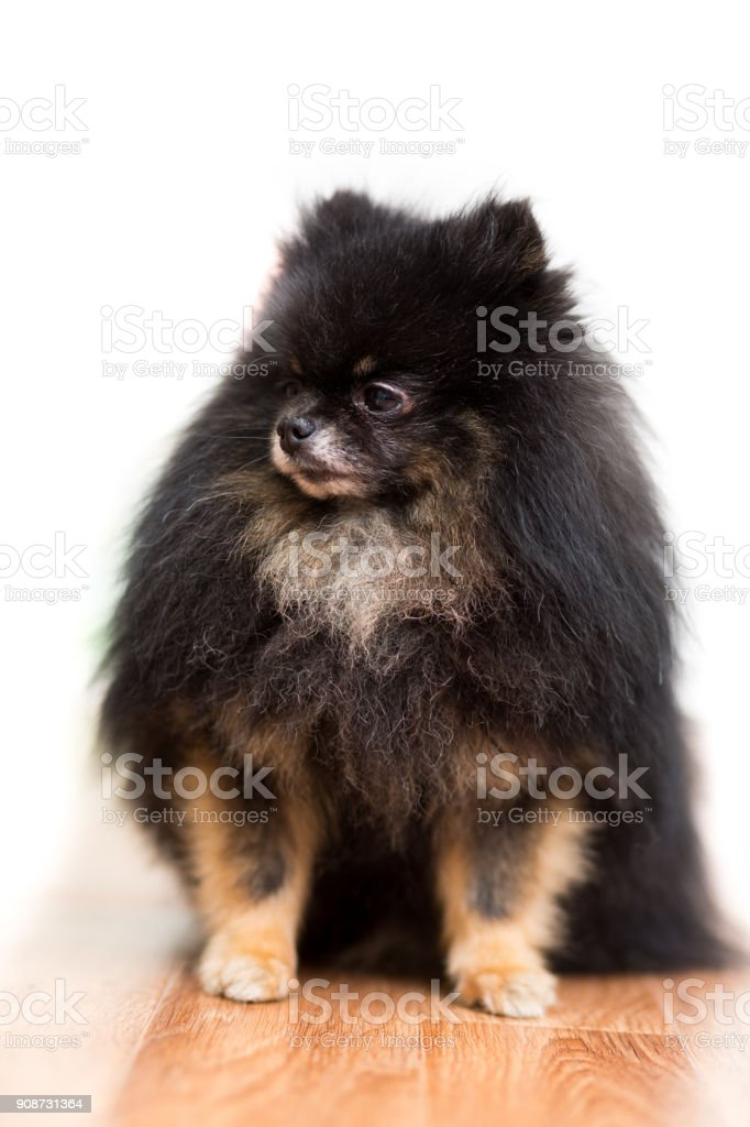 Dog of a Pomeranian breed dog of black color sits on the floor, isolated on white stock photo