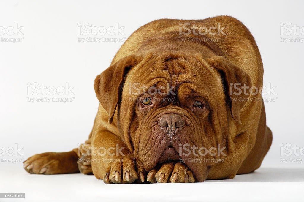 Dog of breed mastino neapolitano 1 stock photo
