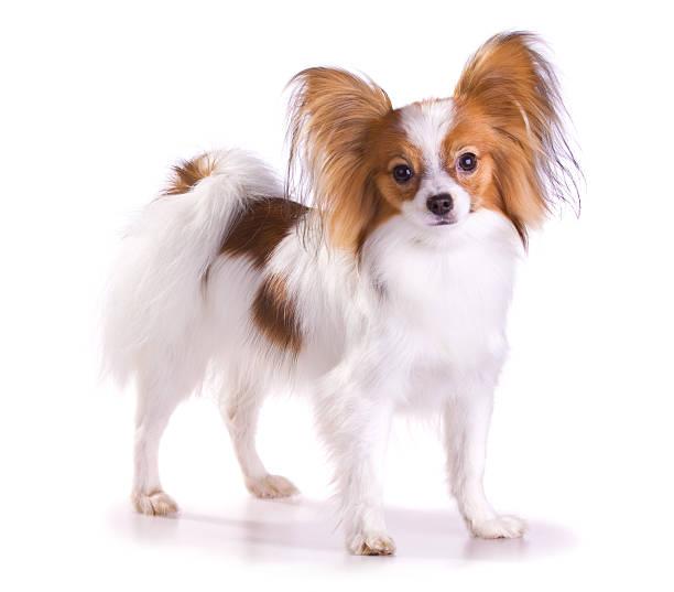 Dog of breed papillon stock photo