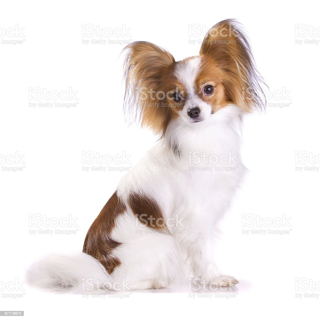 Dog of breed papillon royalty-free stock photo