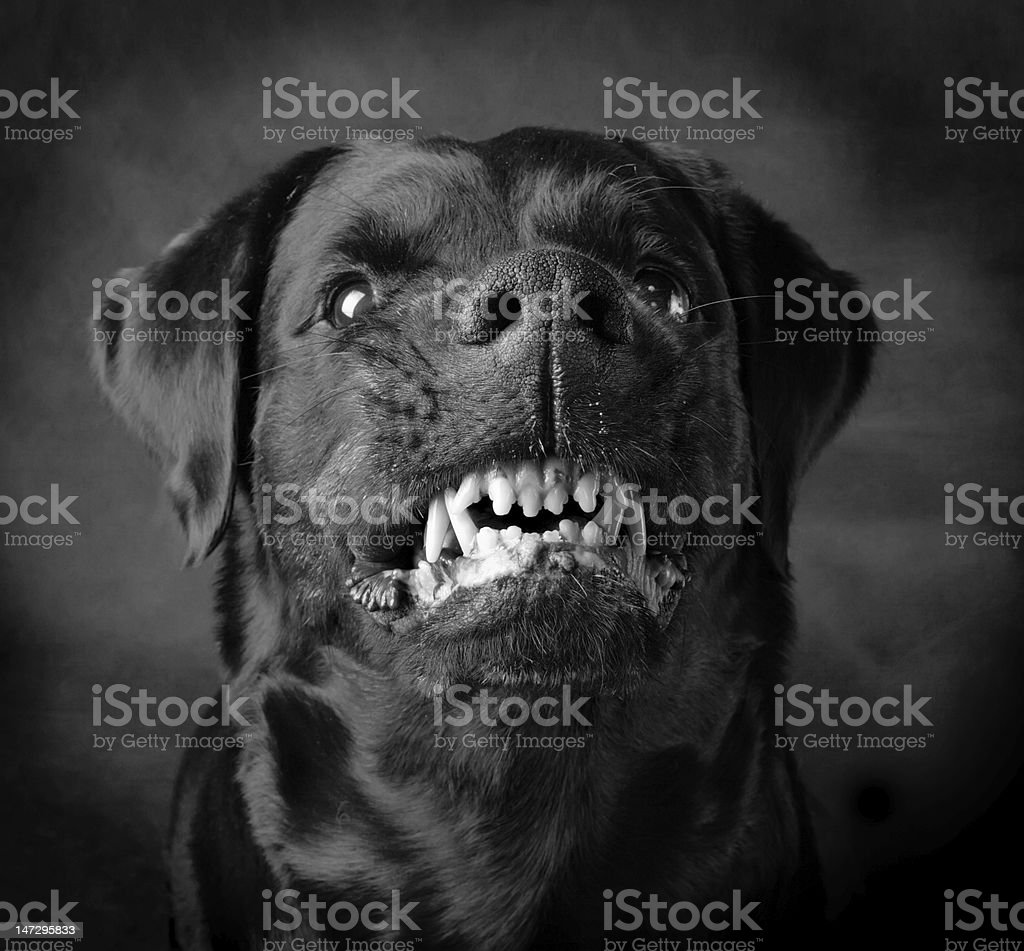 Dog of breed rottweiler. stock photo