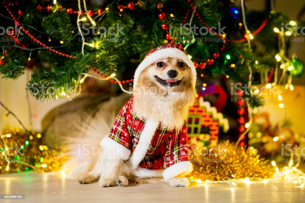 Deutscher Weihnachtsbaum.Ein Hund Der Rasse Deutscher Spitz In Einem Gnomeanzug Sitzt Neben