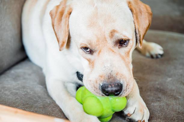 Dog of labrador breed is chewing a toy picture id934126290?b=1&k=6&m=934126290&s=612x612&w=0&h=5ejjdnbu0w3tyhsbdwkve4hcujvwimtizsiwrdloia4=
