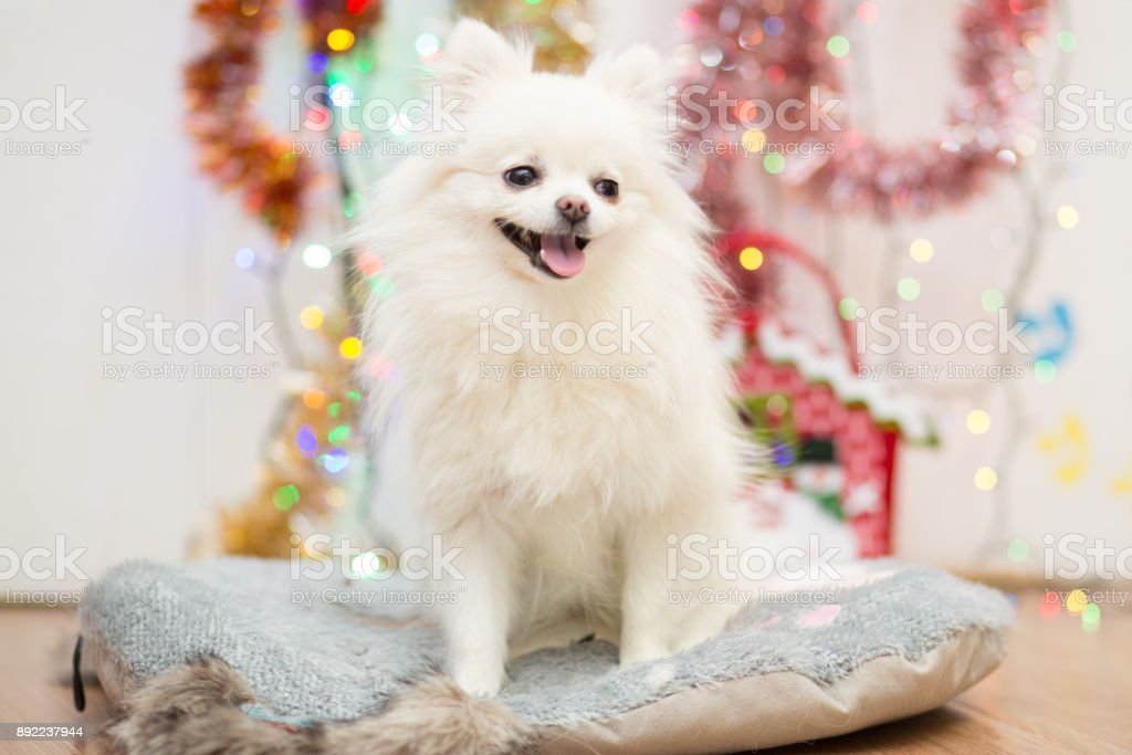 Dog of Pomeranian Pomeranian breed of white with a funny face on the background of Christmas garlands stock photo