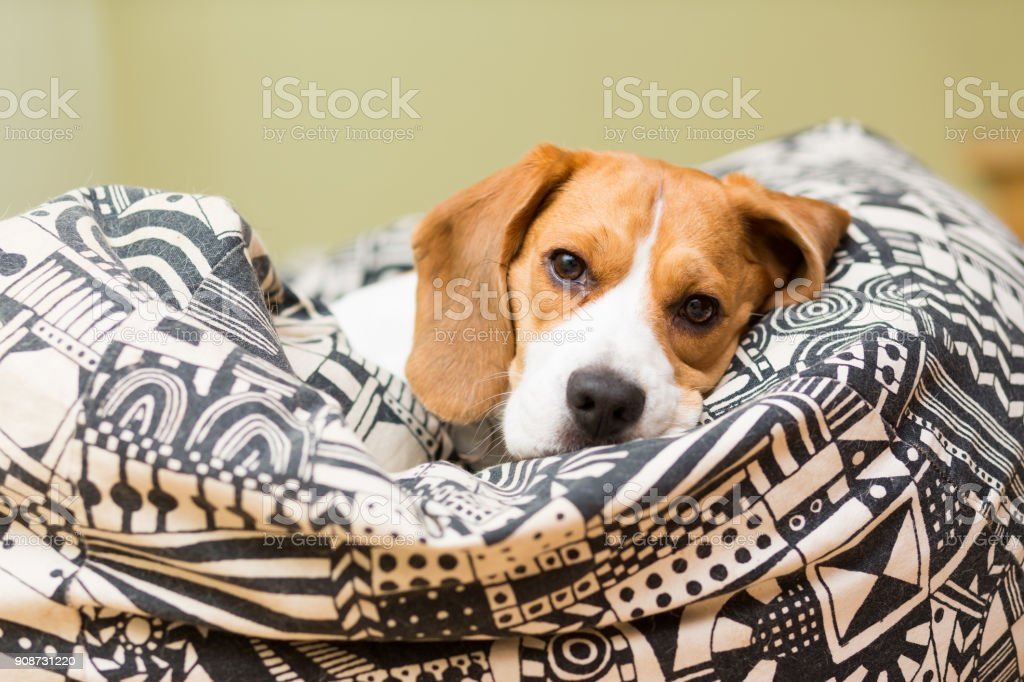 Dog of the Beagle breed, 2 years old, is lying in a seat bag stock photo
