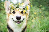 A dog of the breed of Wales Corgi Pembroke on a walk in the summer forest. A dog in a wreath of flowers.