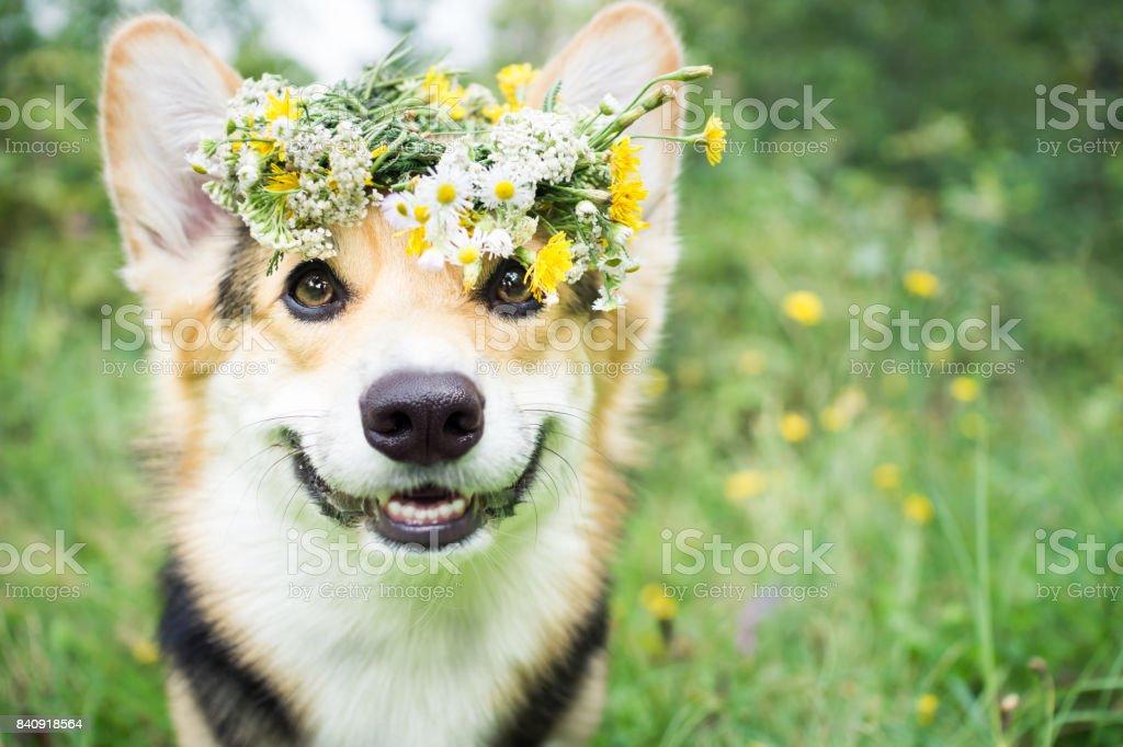 Ein Hund der Rasse der Corgi Pembroke Wales auf einem Spaziergang im Sommer Wald. Ein Hund in einen Kranz aus Blumen. – Foto
