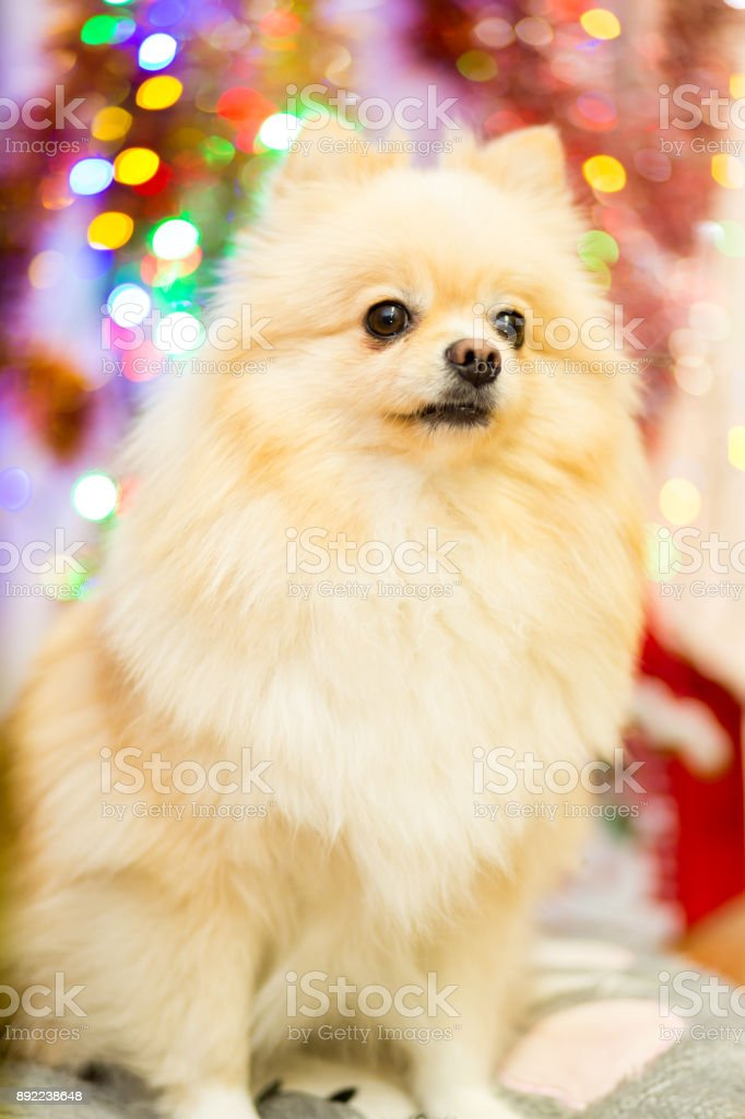 Dog of the breed Pomeranian Spitz beige with a funny face on the background of Christmas garlands stock photo