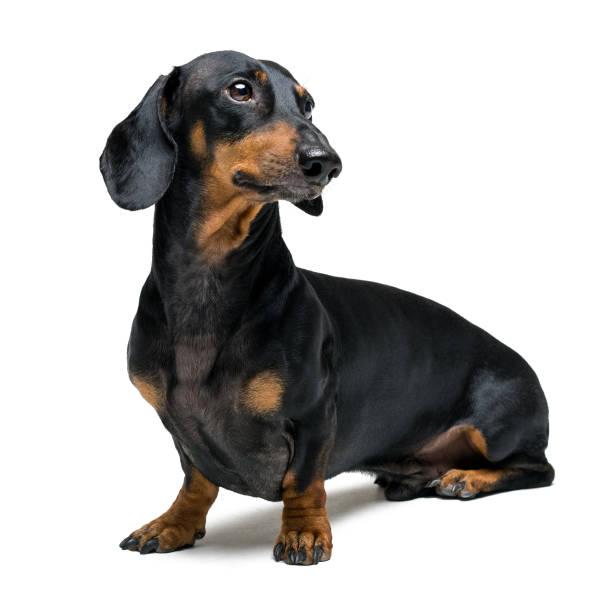 en hund (valp) av rasen tax hane, svart och tan på isolerade på vit bakgrund - tax bildbanksfoton och bilder