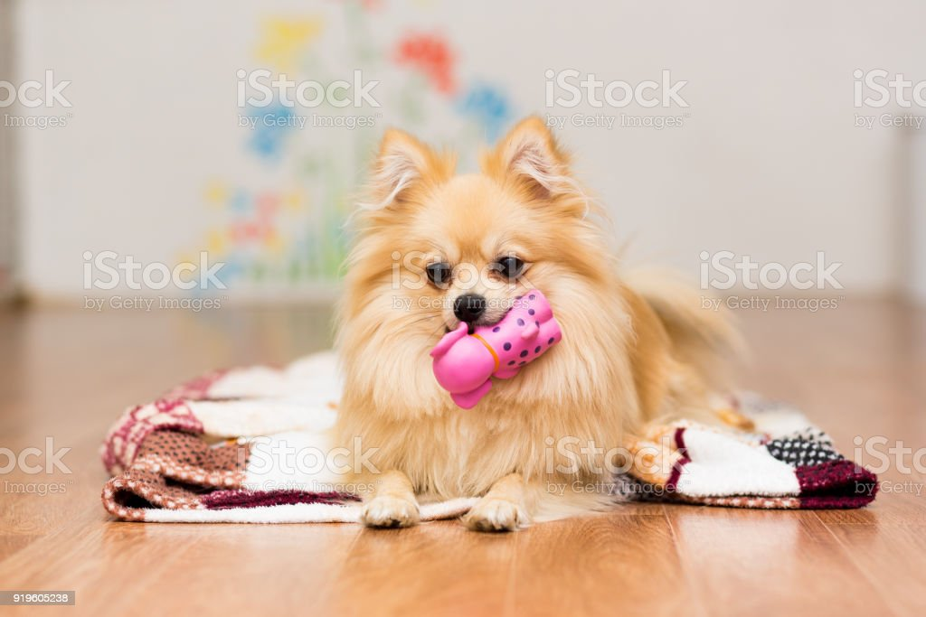 A dog of the German Spitz breed lies on a blanket with a toy in the teeth stock photo