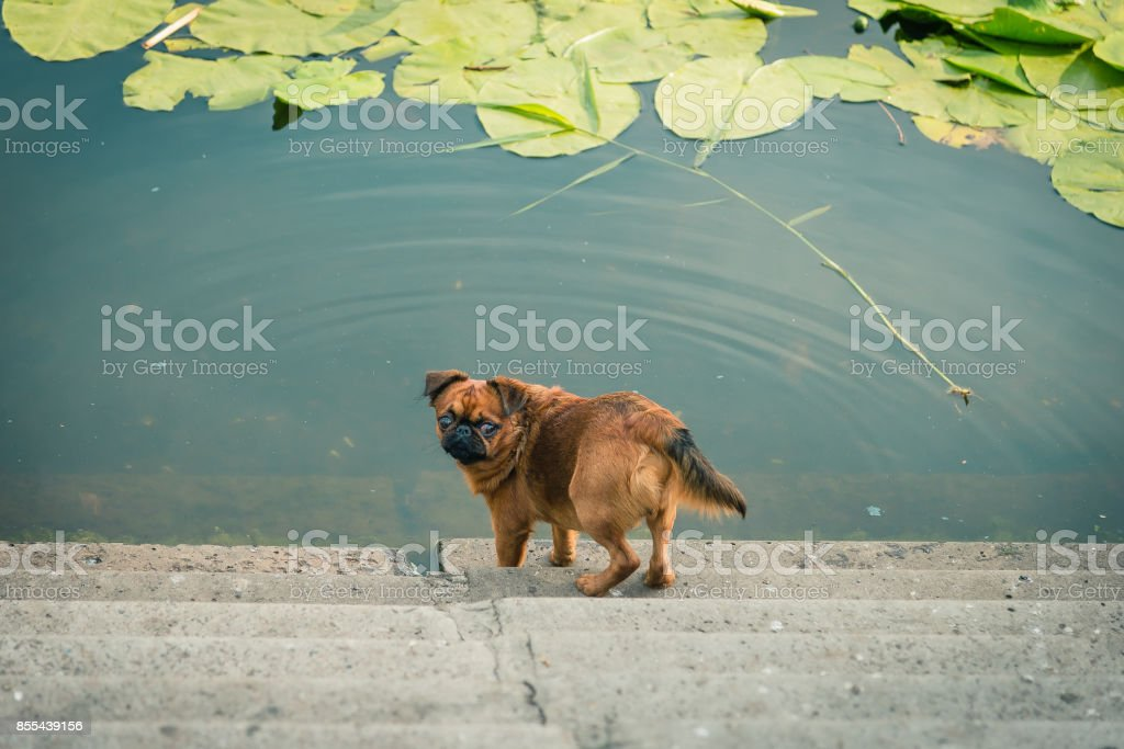 Dog of the Griffon breed stock photo