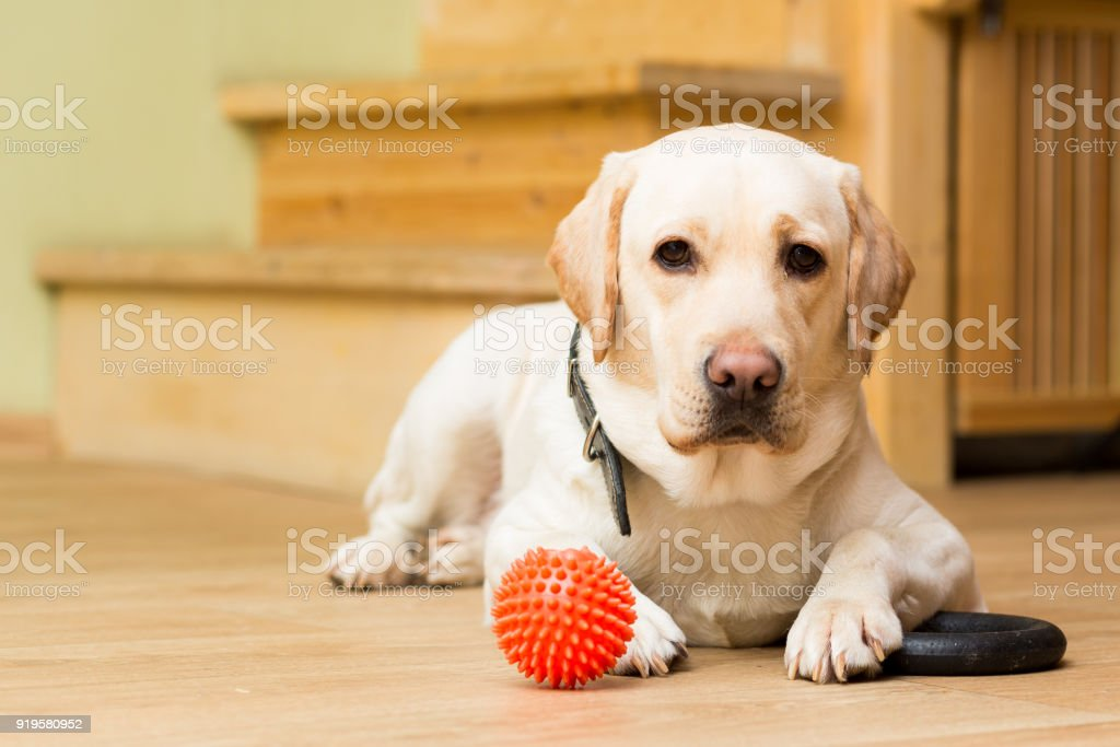 dog of the Labrador breed of beige color lies on the floor stock photo