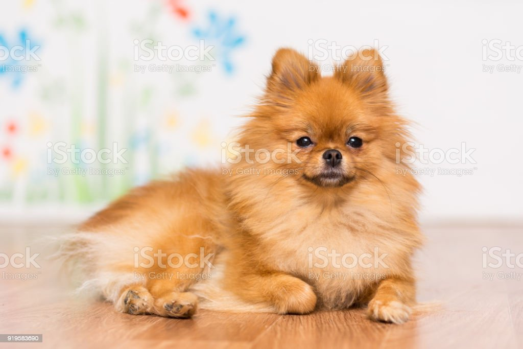 A dog of the Pomeranian dog breed lies on the floor stock photo