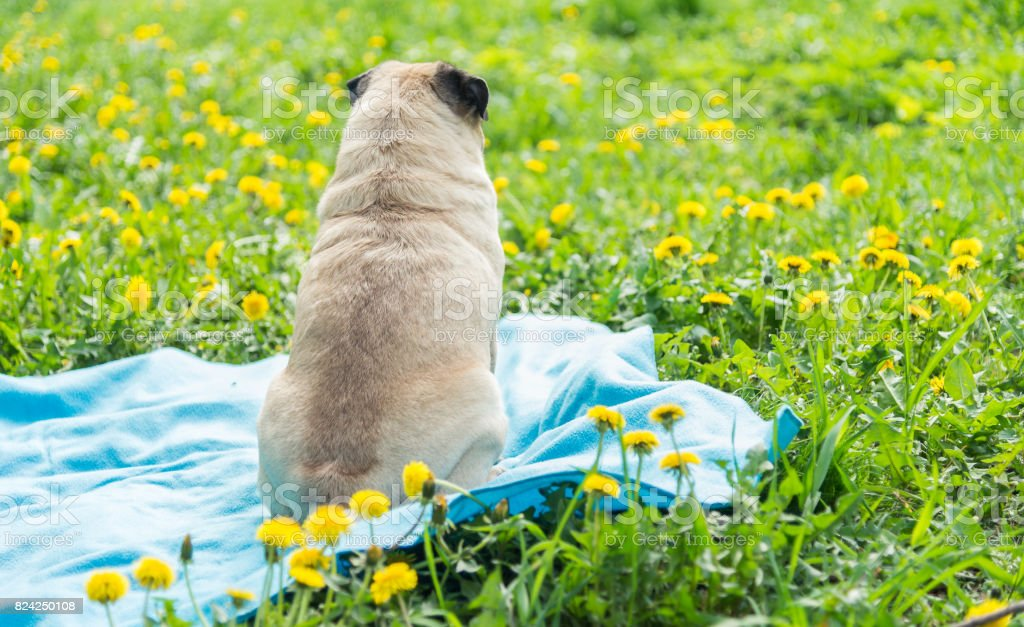 Dog of the Pug breed. The dog walks on the green lawn stock photo