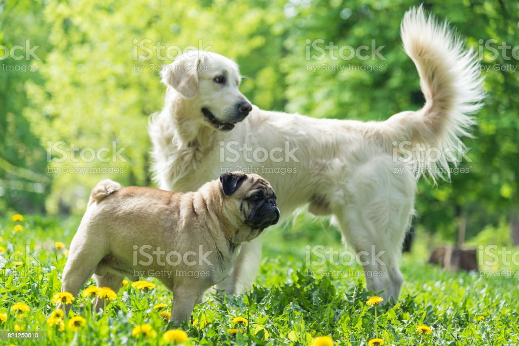 Dog of the Pug breed walks with other dogs stock photo