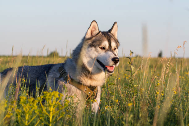 A dog of the Siberian Husky breed of black and white color stock photo
