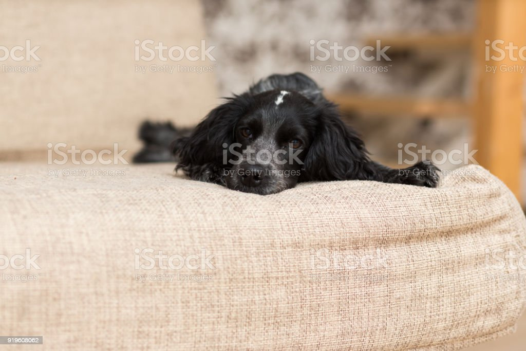 Dog of the Spaniel breed of black is lying sad on the couch stock photo