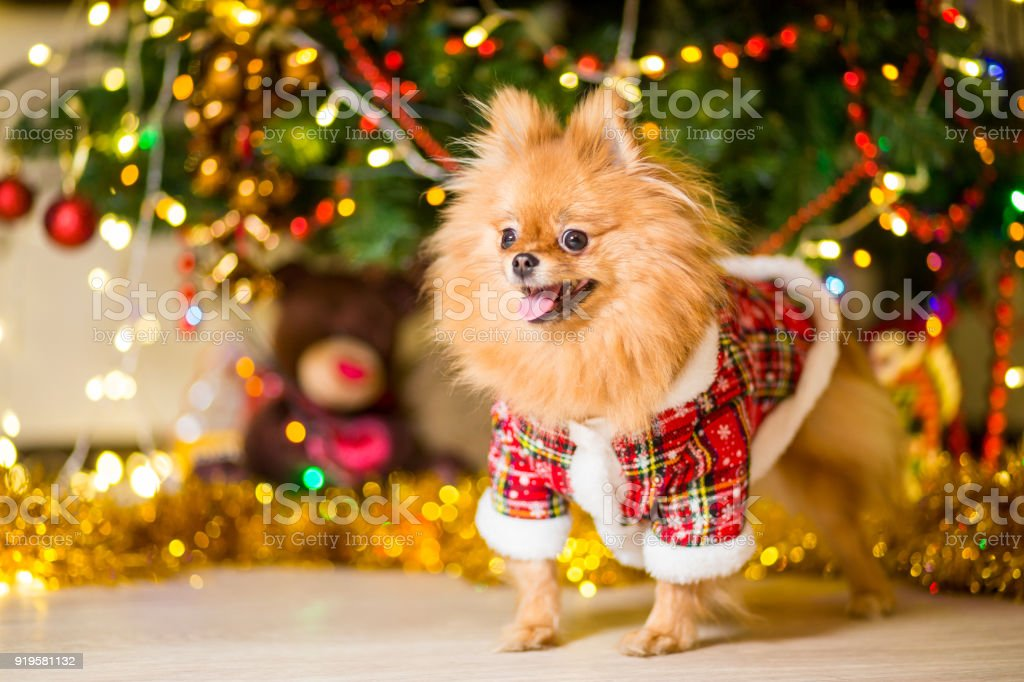 A dog of the Spitz breed of red color in a gnome costume near a Christmas tree stock photo