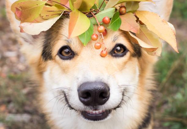 Dog of the welsh corgi breed pembroke on a walk in the autumn forest picture id842987588?b=1&k=6&m=842987588&s=612x612&w=0&h=ydqgt5mdew dugf5mdf1xoobs fyrikcbvba7vfke a=