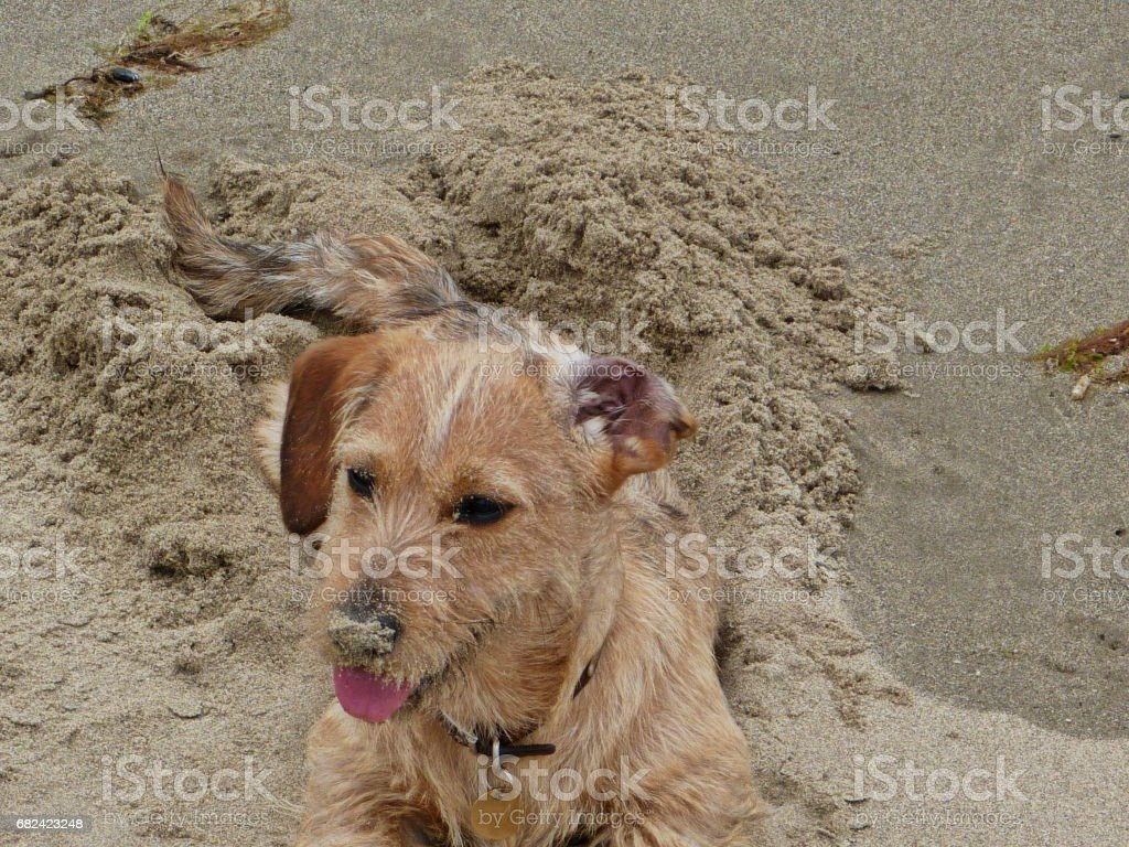 A dog on a beach - wire haired dachshund photo libre de droits
