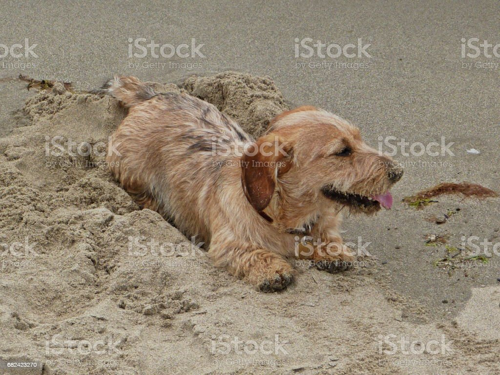 A dog on a beach - wire haired dachshund royalty-free stock photo