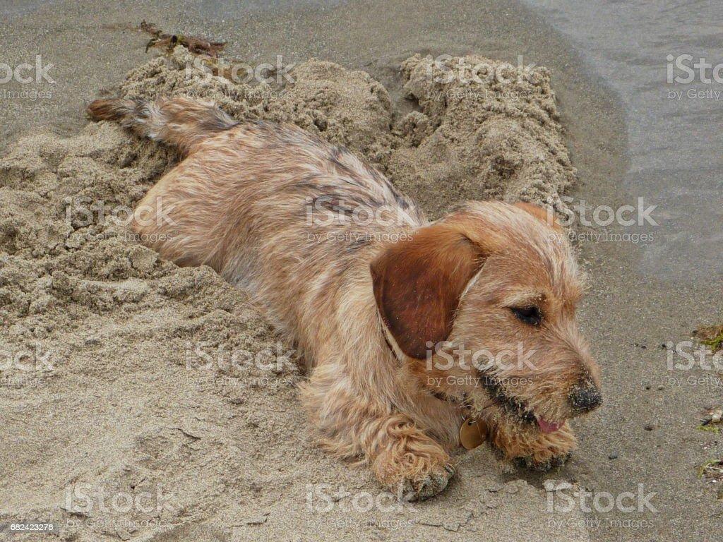 A dog on a beach - wire haired dachshund photo libre de droits