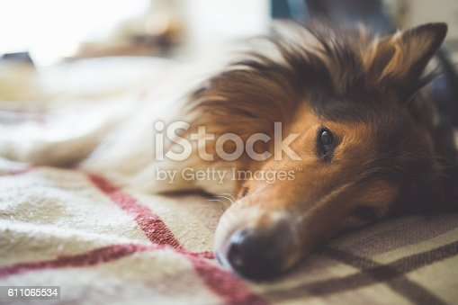 istock Dog on a bed 611065534