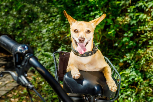 dog on a bike trailer or basket chihuahua dog sticking out the tongue on a bike trailer on summer vacation , with owner ready for fun and play animal carrier bike stock pictures, royalty-free photos & images