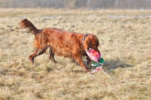 Dog on a coursing training picture id1195278726?b=1&k=6&m=1195278726&s=612x612&w=0&h=8h6emaxdsv4lt5kfeeky2zwbvwkpsdjzscyycwdqqa0=