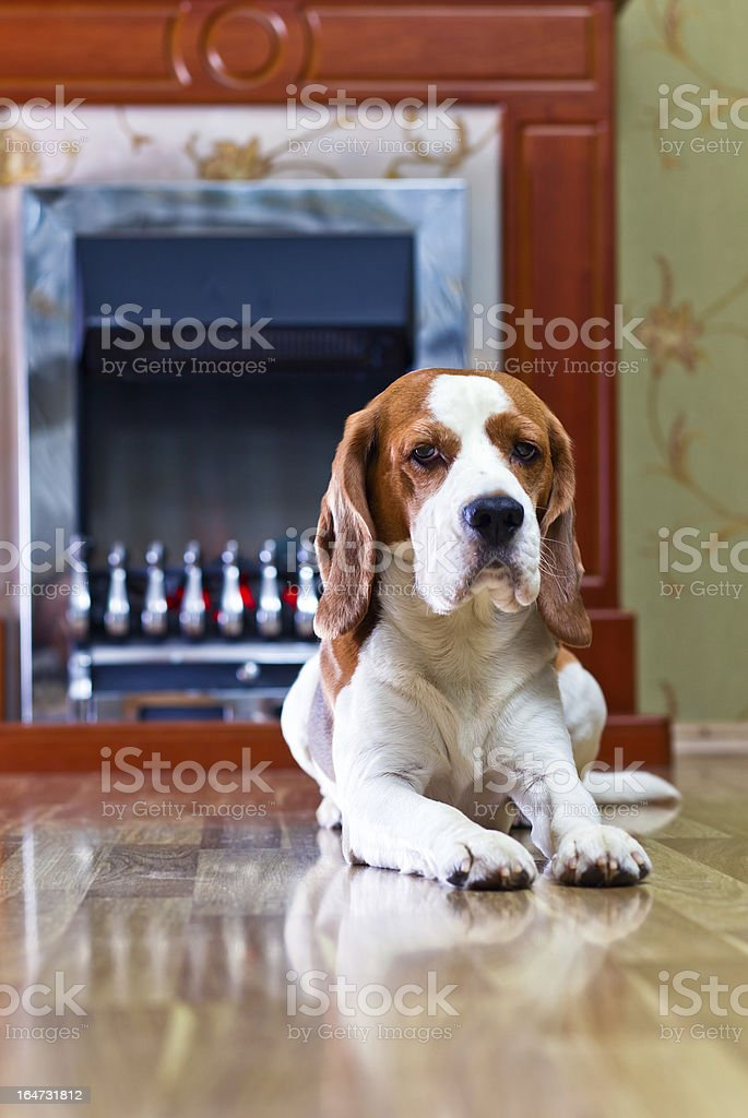 dog on a floor royalty-free stock photo