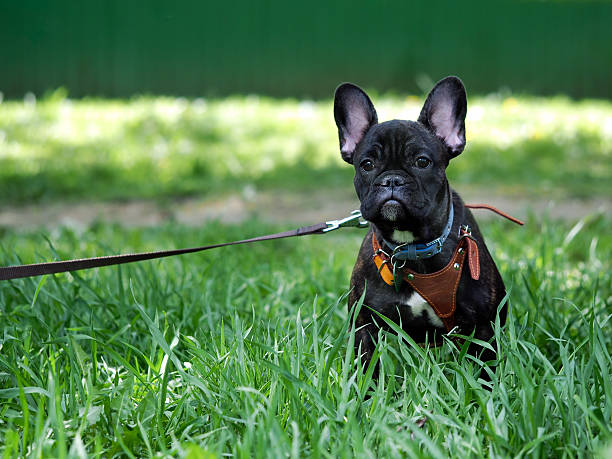 dog on a leash and harness for a walk stock photo