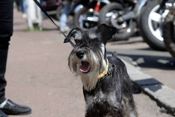 Dog on a leash barking in the street during a walk with his master stock photo