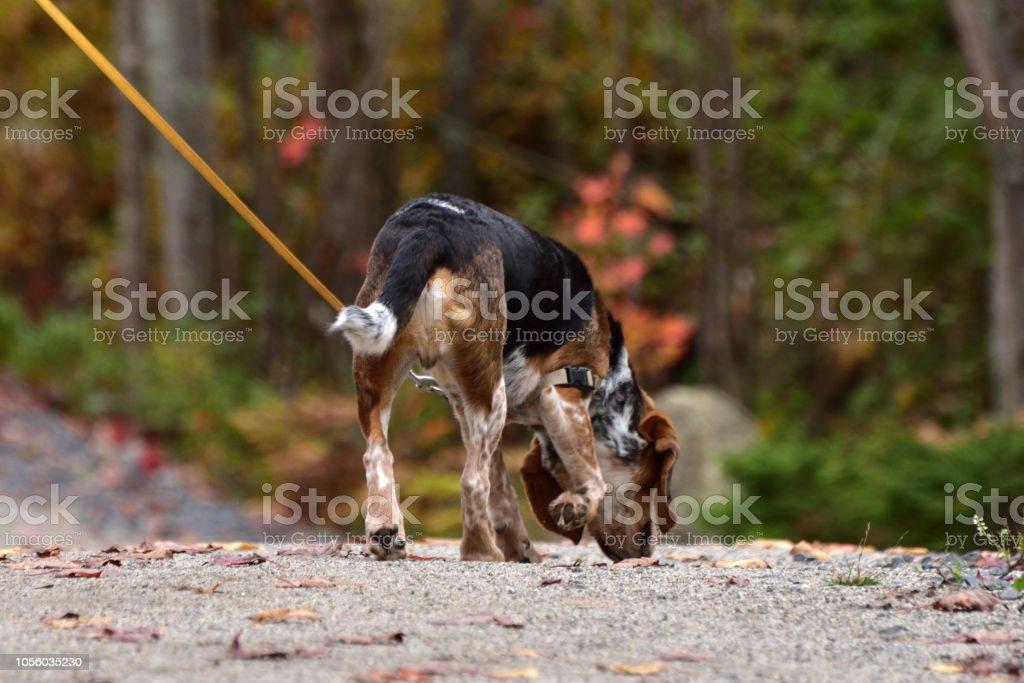 Dog on a Leash Sniffing a Fallen Leaf