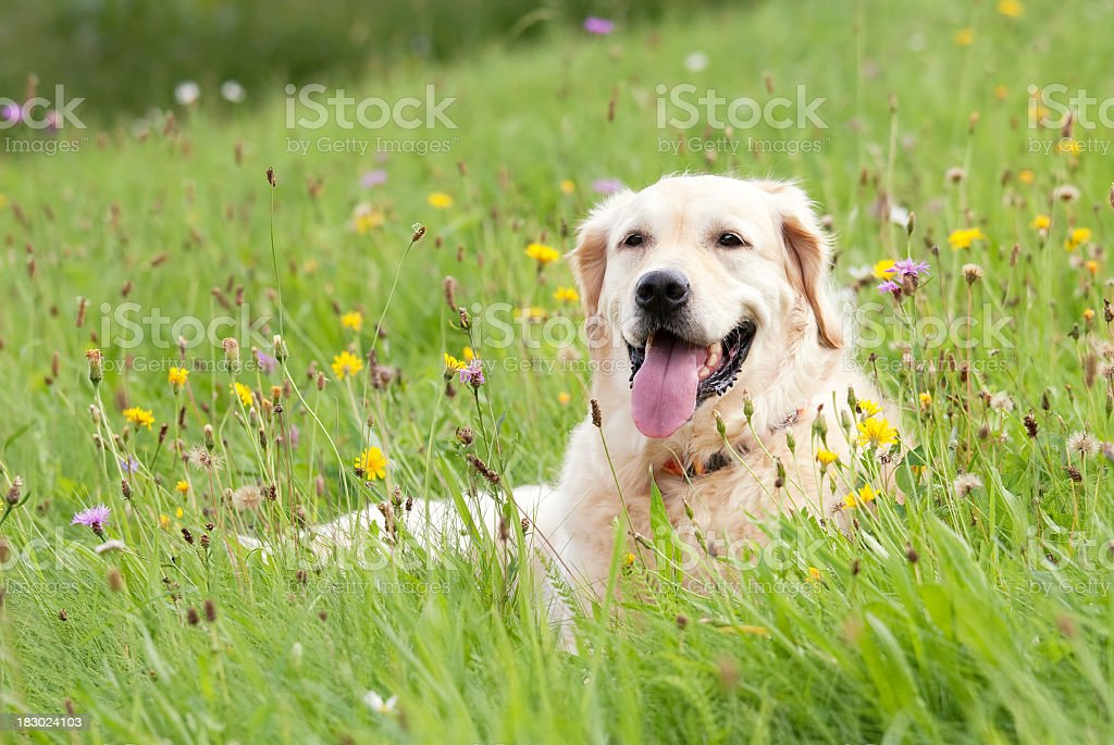 Dog on a meadow royalty-free stock photo