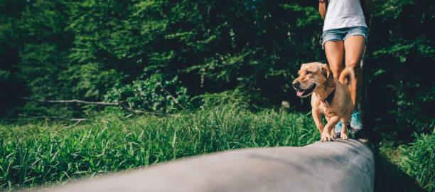 hund på en träd stock med hiker - hund skog bildbanksfoton och bilder