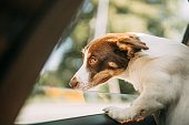 istock Dog on a trip. Leaning out of car window 1272609180