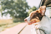 istock Dog on a trip. Leaning out of car window 1272609263