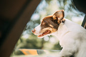 istock Dog on a trip. Leaning out of car window 1272609279
