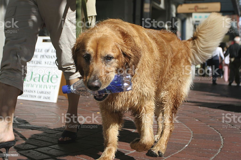 Dog on a Walk royalty-free stock photo