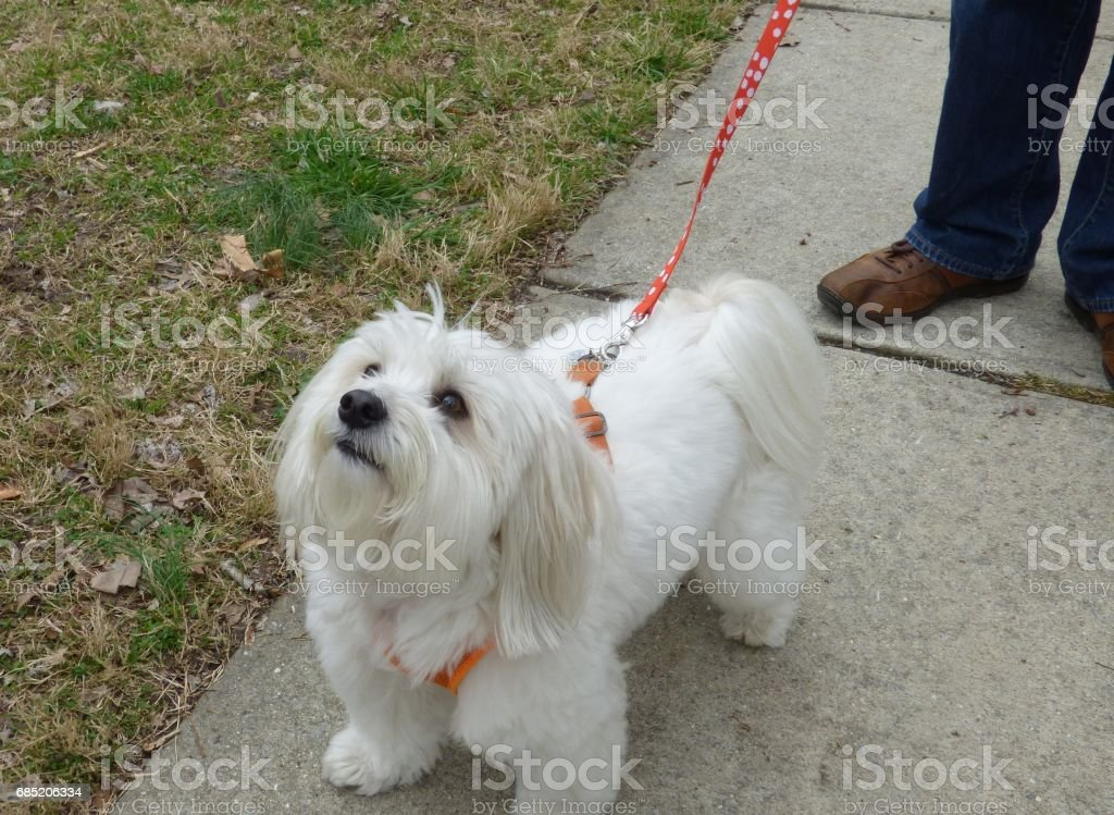 Dog on a walk foto de stock libre de derechos