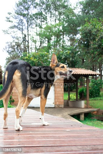 dog on a wooden deck at a Brazilian dam. the dog is standing and on his back and in the background you can see a boathouse, a field and trees.