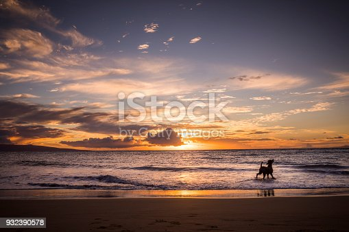 Dog in ocean close to a beach during sunset in Hawaii.