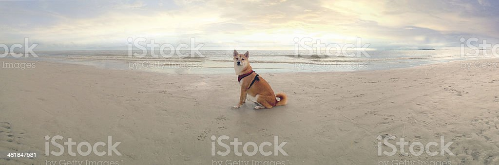 Dog on beach with sunset stock photo