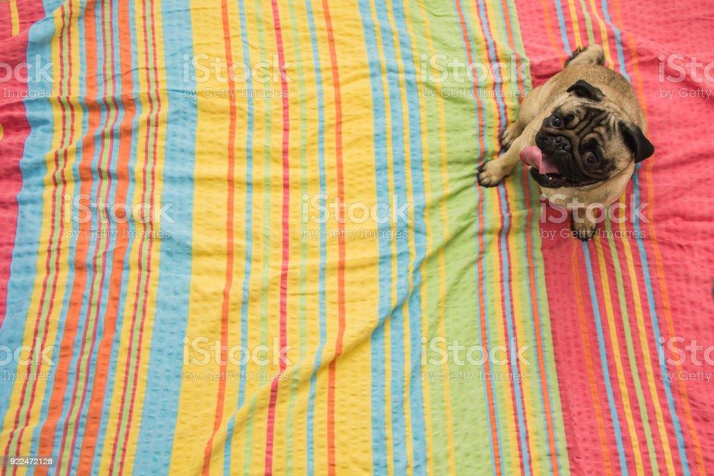 Dog on bedspread stock photo