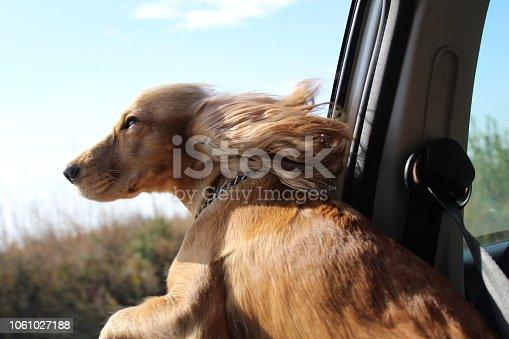 istock Dog on car window. 1061027188