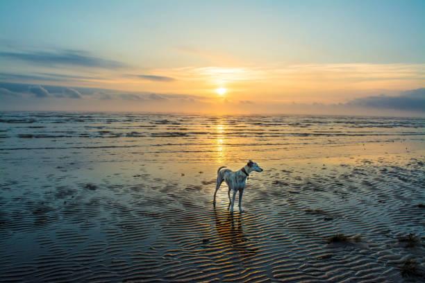 狗在黎明海灘 - 林肯郡 個照片及圖片檔