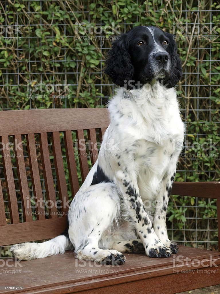 Dog On Garden Bench royalty-free stock photo