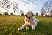 Healthy Golden Retriever lying down on a green field.